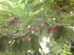 cherry3.jpg