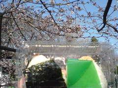 sakura-baji.jpg